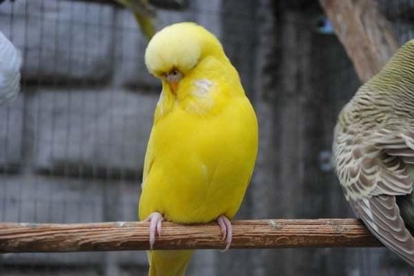 Волнистые попугайчики. Фото, звуки, как разговаривают, поют, виды, окрасы, родина, где обитают белые, фиолетовые, желтые, розовые, разноцветные
