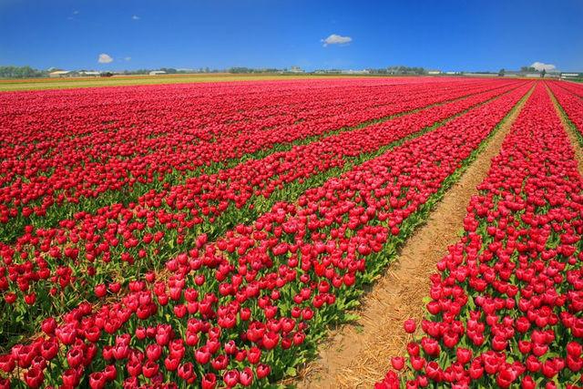 Поля тюльпанов в Голландии, фото из космоса, когда цветут, где находятся на карте страны