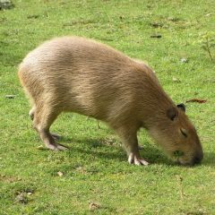 Самый большой грызун в мире. Фото Капибара, где живет, как называется, интересные факты