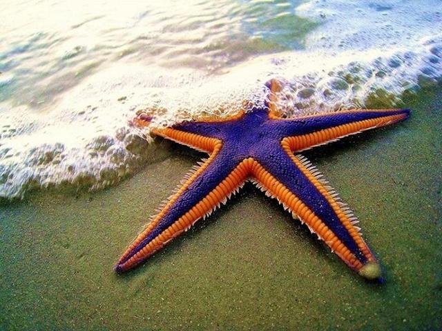 Морская звезда. Фото, типы, опасна ли для человека, можно ли есть, интересные факты, описание